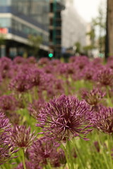 Allium's In The City (Derbyshire Harrier) Tags: 2018 alliumflowers sheffield southyorkshire city arundelgate furnivalgate purple spring may urban buildings ngc