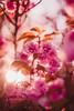ILCE-7M2-09661-20180513-1925 // Nikon Nikkor-SC Auto 55mm 1:1.2 (Otattemita) Tags: 55mmf12 florafauna nikonaid nikonnikkorscauto55mmf12 nikonnonai nikonpreai nipponkogaku fauna flora flower nature plant wildlife nikonnikkorscauto55mm112 sony sonyilce7m2 ilce7m2 55mm cnaturalbnatural ota