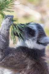 The scent of spring (begineerphotos) Tags: lemur animal tree branch pine pinetree smell