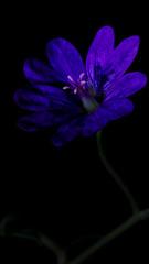 Blue Blossom (Low Key Blossom, 10mm) HMM! (Gerald Lang) Tags: sonyalpha7ii sonya7ii darktable blüte blossom pflanze plant blau blue sonyilce7m2 makro macro floraison plante macromondays bleu tamronaf90mm128macro11 digikam gimp lowkey