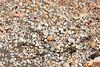 Delta del Ebro (esta_ahi) Tags: deltadelebro bivalvia mollusca conchas petxines fauna marina baixebre tarragona spain españa испания
