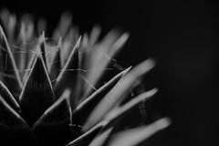 dark times... (Jess Feldon) Tags: hmm macromondays lowkey macro blackandwhite jessfeldon dof depth dark moody spidersweb web details closeup monkeypuzzletree tree