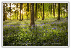 """Portglenone Forest in the rays of the sun"" (W.G. Photography) Tags: portglenone forest park countyantrim northernireland bluebells flowers trees sunrise nature natural beauty"