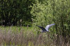 9Q6A2440 (2) (Alinbidford) Tags: alancurtis alinbidford brandonmarsh greyheron nature wildbirds wildlife inflight