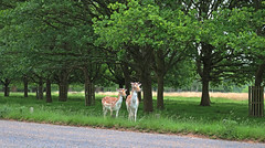 lovely friends (andreea_muntean) Tags: landscape nature colors animals wild deer deers trees photography friends cute handsome relaxing eyes ears green canoneos750d life style love andreeamuntean