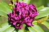 Struggling Rhodie (Mïk) Tags: rhododendron rhodies mikeyworld flora flower blossums bloom black purple green