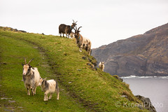 Goats on steep mountains, Ervik, Norway (KronaPhoto) Tags: 2018 natur vår goats geiter steep bratt fjell landskap view climb klatre animal animallover dyr spring curious nature