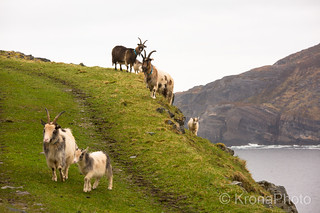 Goats on steep mountains, Ervik, Norway
