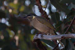 Lewin's Honeyeater (RoosterMan64) Tags: australia australiannativebird bird honeyeater lewinshoneyeater nsw nature wildlife