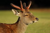 Stag (Teruhide Tomori) Tags: animal deer wild nature japan japon nara shika 奈良 日本 鹿 野生 ニホンジカ 奈良公園