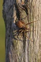 Spinnen-Stube (gbohne) Tags: geo:region=europe geo:country=germany outdoor spinne spider spinnentiere spinnen arthropoda arthropods arachnida araneomorphae araneae tier holz wood al closeup wiesen meadows