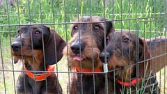 Belle équipe (bernard.bonifassi) Tags: bb088 06 alpesmaritimes 2018 mai canonsx60 counteadenissa chien chasseur chasse teckel teckelàpoilsdurs