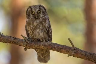 Boreal Owl - Sweden