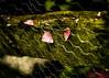 Stuck.. (EYeardley) Tags: petals pink fence fencedfriday fencefriday inthegarden mesh green dof bokeh nikon 50mm nikon50mm d3300 hff