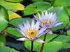 early summer (oneroadlucky) Tags: nature plant flower lotus waterlily green purple reflection