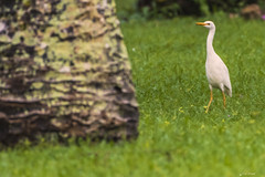 UN AIRONE GUARDIABUOI    ----    A CATTLE EGRET (Ezio Donati is ) Tags: uccelli birds animali animals natura nature alberi trees erba grass foresta forest acqua water africa cosradavorio areayamoussoukro