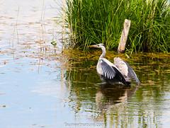 Héron cendré (fauneetnature) Tags: heron héroncendré oiseaux oiseau birds bird ornithology ornithologie lacdubourget savoie