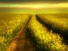 New Day Dawns (Martyn Starkey) Tags: yellow field rapeseed tracks sunrise birds