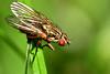 Flesh fly (42jph) Tags: nikon d7200 wildlife nature insect uk england northumberland close up closeup macro fly 105mm f28g edif afs vr micro lens