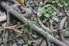 BM7Q2498.jpg (Idiot frog) Tags: daytime sunny gravel flora caterpillar miaoli taiwan day green plant botany camping animal 毛毛蟲 根 樹根 盤根 草 葉 石 小石 碎石 綠 幼蟲 自然 堅韌 生命力 戶外 野外