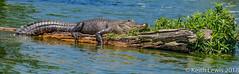 any log will suffice (keithhull) Tags: alligator gator lakemartin breauxbridge louisiana unitedstates
