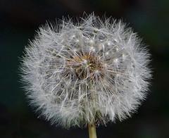 Dandelion (mira66) Tags: puffball seedhead seed dandelion garden