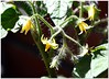 Hairy.... (MaxUndFriedel) Tags: garden sun fruit tomato blossom hairy furry waiting harvest
