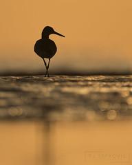 Willet (T L Sepkovic) Tags: willet shorebird silhouette colorful bird canon 5dmkiv lenscoat delawarebay bay newjersey audubon wildlifephotography avianphotography