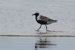 Black-bellied Plover (Art Clausing) Tags: manzanita oregon unitedstates us
