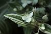 Tradescantia albiflora cv. Albovittata  シラフツユクサ (ashitaka-f studio k2) Tags: flower white tradescantia albiflora albovittata シラフツユクサ ツユクサ科 commelinaceae