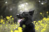magical meadow (kahora777) Tags: dogphotography animalsphotography petphotography portrait outdor spring blackdog germanshepherds beauty light meadow flowers yelow