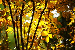 Autumn Yellow Gold (Bl.Mtns.Grandma) Tags: crepemyrtle autumn yellow deciduous