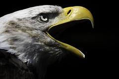 Bald Eagle (R.J.Boyd) Tags: bald eagle bird prey gauntlet hunter predator animal wildlife usa america feathers flying beak