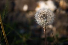 Clock (cdawson77) Tags: flowers dandelion clock seeds bokeh nature