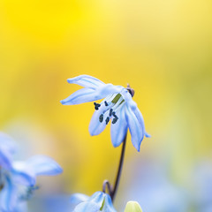 Siberian Squill (TrotterFechan) Tags: scilla siberica siberiansquill woodsquill flower blue yellow