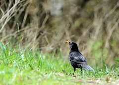 Merle noir ♂ (jean-daniel david) Tags: oiseau nature réservenaturelle merle noir vert verdure pelouse bokeh yverdonlesbains herbe