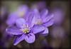 Dans le soleil printanier (sosivov) Tags: sweden flower flowers spring hepaticanobilis liverleaf blue violet lilac