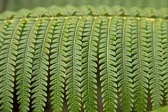 Ferns (mfeingol) Tags: fern hawaiivolcanoesnationalpark hawaii bigisland volcano pāhoa unitedstates us