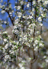 Flower mood (Valentyn Kolesnyk (ValeKo)) Tags: pentax nature light mood bokeh blossom k3 ko120m petzvale 120mm 18