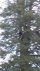 IMAG0030 (scottmcon) Tags: treed bears four actually sow yearling cubs