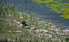 Un tarro blanco en la laguna de adecuación de las Tablas de Daimiel (sergiofuen) Tags: tablasdedaimiel daimiel humedal wetland ciudadreal spain españa nature naturaleza tarroblanco shelduck