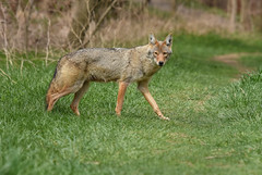 Eastern Coyote (aj4095) Tags: coyote spring nature wildlife outdoor ontario canada animal