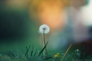Dandelion, late afternoon..