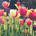 Tulips 5/8/18 #bostonpublicgardens #flowers #spring #boston
