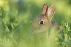Lapin (Dakysto94) Tags: nature animal lapin rabbit mammifère mammal