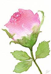 """ACEO 91 """"Rosebud"""" (Sonia Aguiar (Mallorca)) Tags: rosebud rose watercolor watercolour acuarela aceo aquarell aquarelle"""