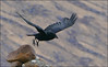 Guardian of the Glens (McRusty) Tags: raven taking off assynt north west highlands scotland wild bird corvid