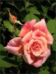 (Tölgyesi Kata) Tags: rosen rosa rosier rose rózsa blossom botanikuskert botanicalgarden withcanonpowershota620 macro vácrátótibotanikuskert nemzetibotanikuskert kordes vácrátót fleur virág spring tavasz