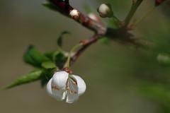 Haralise ploomipuu õis (Jaan Keinaste) Tags: pentax k3 pentaxk3 eesti estonia loodus nature alõtša haralineploomipuu prunuscerasifera õis blossom kevad spring jupiter37a