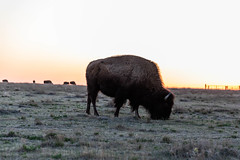 Sundown meal (jametalb) Tags: onlyinkansas canon5dmkiv landscape sunset kansas nature pasture kansasmagazine sky beautifulkansas landscapes bison ks canon